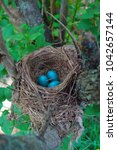 Robin\'s Nest With Three Blue...