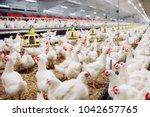 indoors chicken farm  chicken... | Shutterstock . vector #1042657765