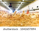 indoors chicken farm  chicken... | Shutterstock . vector #1042657894