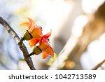 red flower on tree  bombax... | Shutterstock . vector #1042713589