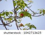 red flower on tree  bombax... | Shutterstock . vector #1042713625