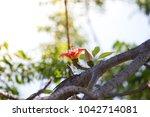 red flower on tree  bombax... | Shutterstock . vector #1042714081