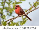Adult Male Northern Cardinal In ...