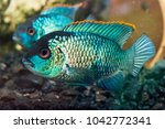 Small photo of Nannacara Neon fsh, background with beautiful turquoise aquarian fish.