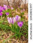 crocus  plural crocuses or...   Shutterstock . vector #1042801597