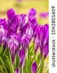 crocus  plural crocuses or... | Shutterstock . vector #1042801609