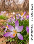 crocus  plural crocuses or... | Shutterstock . vector #1042801621