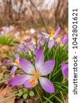 crocus  plural crocuses or...   Shutterstock . vector #1042801621