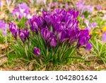 crocus  plural crocuses or...   Shutterstock . vector #1042801624