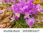 crocus  plural crocuses or...   Shutterstock . vector #1042801627