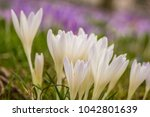 crocus  plural crocuses or... | Shutterstock . vector #1042801639