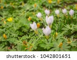 crocus  plural crocuses or... | Shutterstock . vector #1042801651