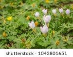 crocus  plural crocuses or...   Shutterstock . vector #1042801651