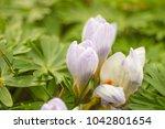 crocus  plural crocuses or...   Shutterstock . vector #1042801654