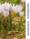 crocus  plural crocuses or... | Shutterstock . vector #1042801681