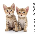 Stock photo two small kittens isolated on white background 1042842037