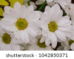 white chamomile with droplets ... | Shutterstock . vector #1042850371