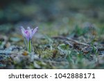 violet crocus  crocuses or... | Shutterstock . vector #1042888171