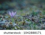 violet crocus  crocuses or...   Shutterstock . vector #1042888171