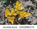 crocus  plural crocuses or...   Shutterstock . vector #1042888174
