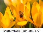 yellow crocus  crocuses or...   Shutterstock . vector #1042888177