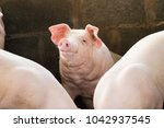 group of hog waiting feed. pig... | Shutterstock . vector #1042937545