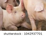 group of hog waiting feed. pig... | Shutterstock . vector #1042937701