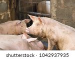 group of hog waiting feed. pig... | Shutterstock . vector #1042937935