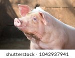 hog waiting feed. pig indoor on ... | Shutterstock . vector #1042937941