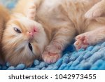 Small photo of Sleep ginger kitten Orange kitten sleeping on bright blue carpet, sparkling eyes,Focus on the nose and mouth by use F-stop for Important point.