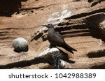brown noddy  anous stolidus...   Shutterstock . vector #1042988389