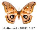 Stock photo antheraea polyphemus moth isolated on white background 1043016127