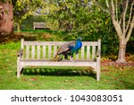 indian peafowl on a park bench  | Shutterstock . vector #1043083051