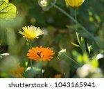 bee in the calendula flower...   Shutterstock . vector #1043165941