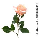 Stock photo a pink rose branch gift isolated 1043207311