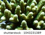 Small photo of Green Acropora millepora colony