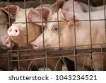 big old pig lying in the cage.... | Shutterstock . vector #1043234521