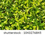 Background Fresh Green Bush