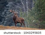 Great adult noble red deer with ...