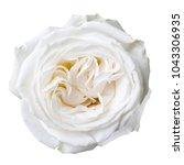 white rose isolated on white   Shutterstock . vector #1043306935