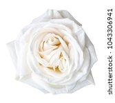 white rose isolated on white   Shutterstock . vector #1043306941