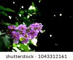 purple inthanin flower in my... | Shutterstock . vector #1043312161