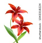 Small photo of Red tiger lily isolated on white background