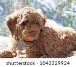 An Australian Labradoodle Pupp...