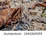 Small photo of Juvenile Cottonmouth (Agkistrodon piscivorus)