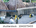 chicken habitats and white or... | Shutterstock . vector #1043375455
