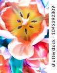 beautiful colorful tulip... | Shutterstock . vector #1043392309