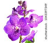 purple vanda orchid  | Shutterstock . vector #1043397349