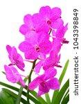 pink vanda orchid | Shutterstock . vector #1043398849