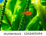 small beauty ember tetra or... | Shutterstock . vector #1043405494